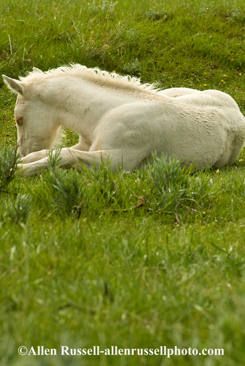 Quarter Horses, cremello foal rest in pasture<br /> PROPERTY RELEASED