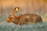 European Hare (Lepus europaeus) adult in grass margin during frost, South Norfolk, UK. April