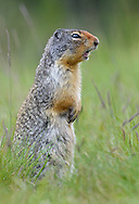 Columbian Ground Squirrel - Urocitellus columbianus
