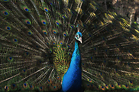 2020-02-07   Madrid, Spain: A peacock spreads its tail feathers in Retiro park. (Photo by Sara Houlison) Keywords: peacock, birds, animals, spain, nature, parks, beautiful
