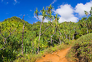 Lush vegitation along the Kalalau Trail on the Na Pali Coast, Island of Kauai, Hawaii