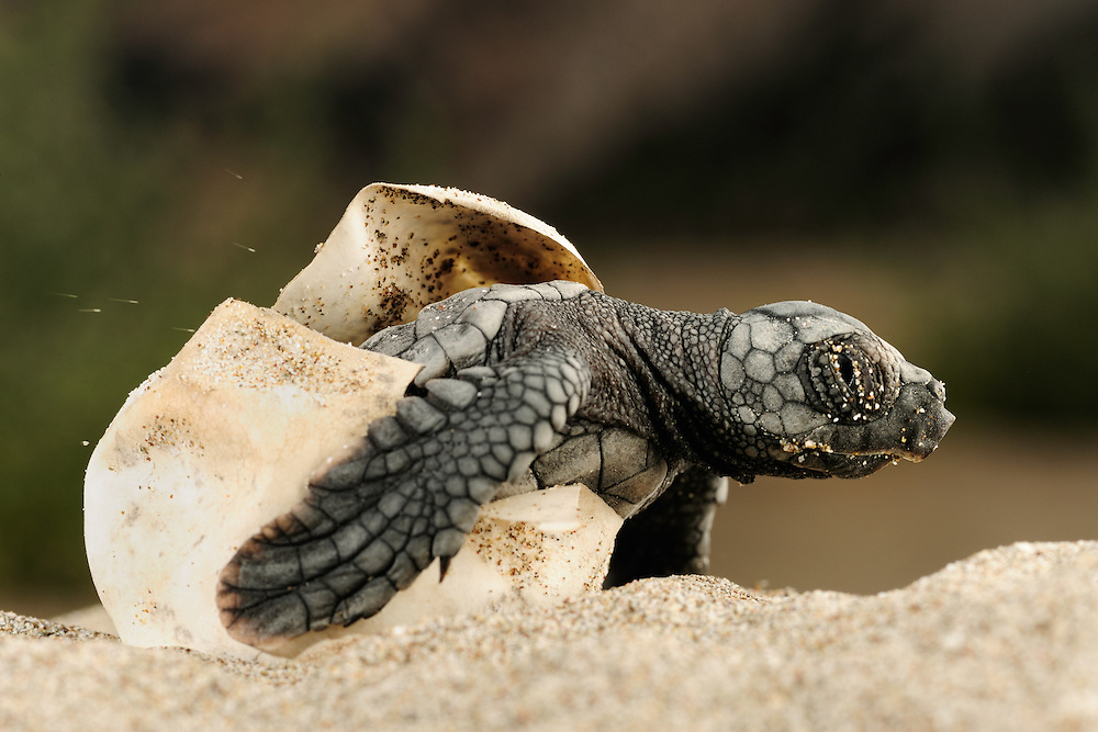 The hatchlings of the Loggerhead Sea Turtle (Caretta caretta) struggle hard to hatch out of their egg shells, emerge from the sand and find their direction once they reached the surface.