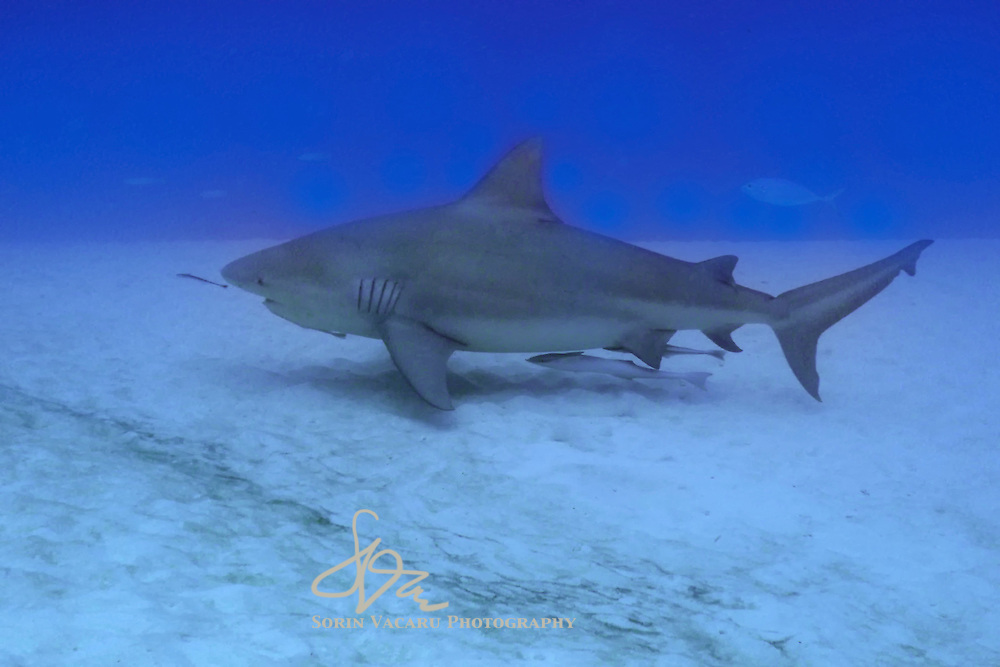 Pregnant female bull shark swimming off the coast of the Yucatan Peninsula