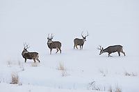 Northern Utah the end of December 2016 now that the rut is over the Mule Deer bucks are starting to band together and fight the winter season to try and servive.