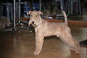 Lakeland terrier at a dog show. Property Release available