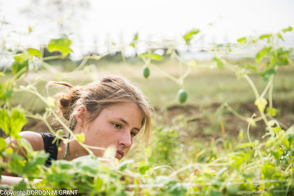 Lynora Stallsmith, an intern at The Food Pantry Farm, harvests a crop on the farm in East Hampton, Sept. 21, 2016. The farm provides local food pantries with fresh local produce.