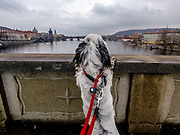 """English Setter """"Rudy"""" schaut am 23.03. 2018 auf die Karlsbrücke in Prag. Rudy wurde Anfang Januar 2017 geboren und ist vor einiger Zeit zu seiner neuen Familie umgezogen."""
