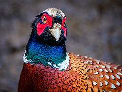 Male pheasant (Phasianus colchicus) in South Lanarkshire, Scotland<br /> <br /> (c) Andrew Wilson   Edinburgh Elite media