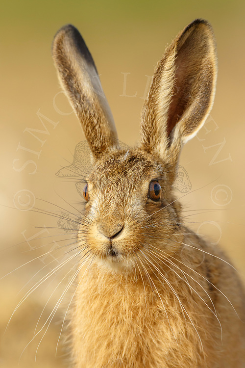 European Hare (Lepus europaeus) young, close up of head, South Norfolk, UK. August.