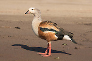 Peru Amazonian wetland birds