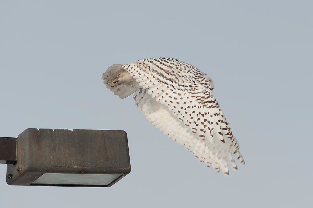 Snowy Owl Flight Syracuse Airport Snowy Owl Flight Syracuse NY Airport