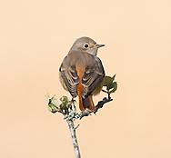 Redstart - Phoenicurus phoenicurus - 1st winter