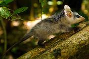 Sao Jose do Rio Preto_SP, Brasil...Programa Biota da Unesp, na foto um camundongo (Mus musculus)...The Biota program of Unesp, In this photo a camundongo (Mus musculus).. .FOTO: JOAO MARCOS ROSA /  NITRO