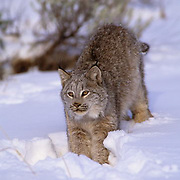 Canada Lynx, (Lynx canadensis) Montana. Portrait. In defensive position. Captive Animal.