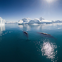 Greenland, Ilulissat, Aerial view of Humpback Whale and young calf swimming among icebergs from Ilulissat Kangerlua Glacier in Jakobshavn Icefjord on summer afternoon