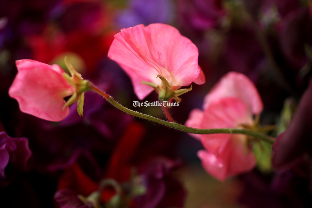 Gardeners cultivate sweet peas for their flowers' color and intense fragrance. (Erika Schultz / The Seattle Times)