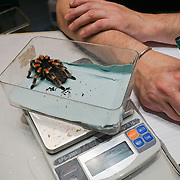 London,England,UK, 24th Aug 2016 : London Zoo Keepers record the weight of Red-Kneet spider at ZSL London Zoo , London,UK. See Li/Picture Capital
