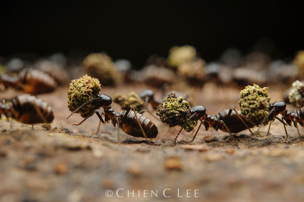 Processionary termite (Hospitalitermes hospitalis).  The food balls carried by these diurnal foraging workers is primarily comprised of fragments of lichens and moss. Sarawak, Malaysia.