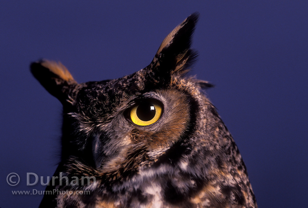 A great horned owl (Bubo virginianus) at dusk. Forest Park, Portland, Oregon.