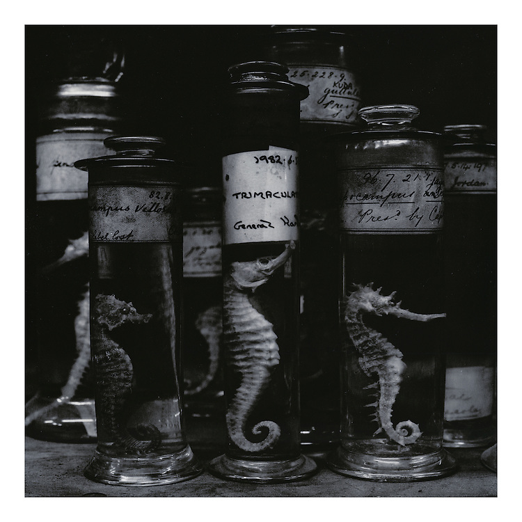 """Seahorses"": Sleeve artwork for ""Rare On Air: Volume 2"" (4AD Records/1995). The negative was made in 1992 on Agfapan 25 120 film and hand-printed by the photographer in June 2014, on 12"" x 16"" 30.48cm x 40.64cm) Kentmere Kentona G2 fibre paper (long since discontinued as an edition of 10 prints only. The prints are silver gelatin ""lith prints"" that have been split-selenium toned. Each print is stamped, titled, numbered, dated, signed by myself and comes with a certificate of authenticity. Please email me at info@simon-larbalestier.co.uk for availability and shipping info. All prints are shipped from the United Kingdom. *Stated price does not include shipping."