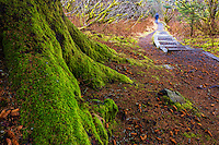 Mossy tree trunk flows toward man walking his dog on woodsy trail in Kodiak, Alaska
