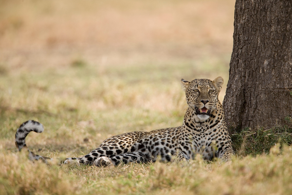 Africa, Kenya, Masai Mara Game Reserve, Adult female Leopard (Panthera pardus) resting in shade