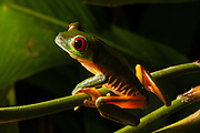 Red-eyed tree frog (Agalychnis callidryas), Manuel Antonio National Park, Costa Rica