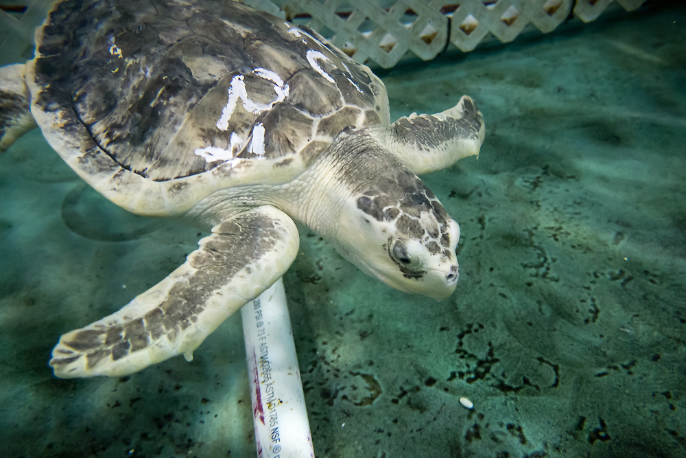 Cougar, a Kemp Ridley Sea Turtle originally admitted into the National Aquarium's Animal Rescue Facility on November 25, 2013 from Barnstable, MA with cold stun, pneumonia, infected shell fractures, and a joint infection in his left front flipper.  It's been a long road but now healed Cougar is ready to be released back into the wild. | August 11, 2015