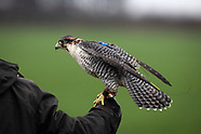 2018 Falconry in Wirral