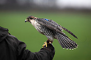 A member of the Cheshire Hawking Club during a meet at Brimstage, Wirral with one of his falcons with a transmitter attached to it.