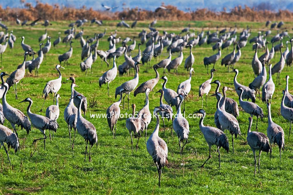 Israel, Hula Valley, Grey Cranes Grus grus at the Agmon lake winter January 2007