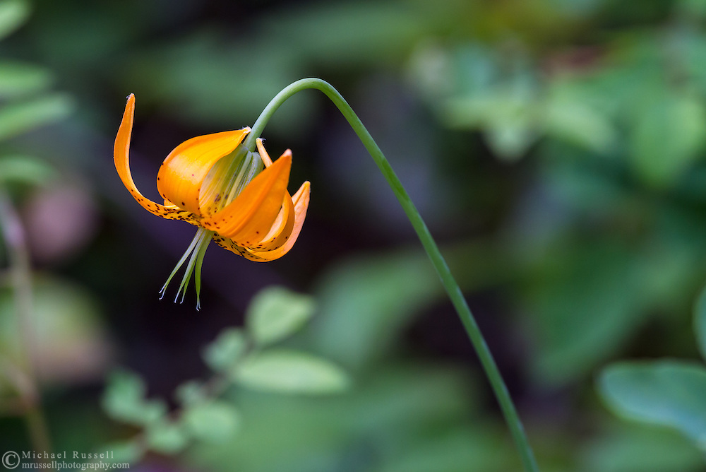 A Tiger Lily (Lilium columbianum) blooms near the Stamp River at Stamp River Provincial Park in Port Alberni, British Columbia, Canada