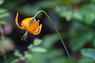 A Tiger Lily (Lilium columbianum) blooms near the Stamp River at Stamp River Provincial Park in Port Alberni, British Columbia, Canada
