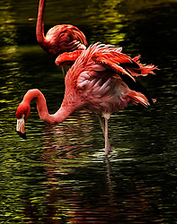 I photographed these beautiful Flamingos at the Saint Louis, Missouri. Flamingos or flamingoes are a type of wading bird.
