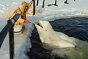 "The sad journey of the Russian beluga Whale's from sea to human captivity<br /> <br /> A team of specialists that every year are issued with licenses to catch dolphins/White Whales from the sea and train them, Nilmoguba, a small village on the north of Russia, near the Polar Circle. <br /> <br /> This whale (pictured )has been caught at sea, it is trained by specialists not to be afraid of humans for about half a year, and after that he will be transferred to live in circus or aquapark / dolphinaruim<br /> <br /> The beluga whale named Petrovich, was caught in late autumn, and four months later he had become accustomed to people and feeding in captivity. <br /> <br /> The Centre informed us (in January 2013) than from autumn 2013 they've got 2 licenses to catch whales, and before catching new whales, this dolphin named Petrovich will have new home in Moscow,  After that they will get two new whales (younger animals are more preferable, because they are easier adapts with people) and train them. Petrovich, who is 12 years old, they live for about 25-30 years, Petrovich adapted to people very easily, and trainers were really surprised with that fact. <br /> <br /> Each dolphin has its own character. Of the hundreds of captured about 1-2 do not surive in captivity and refuse to eat food brought given to them, f they do not adapt, because stressful experiences they die very quickly.<br /> <br /> Despite the fact that in nature, they have no natural enemies (only polar bear could, perhaps, be compared with him by force, but in reality they do not interact well at first,  you have to learn there trust before you have contact with them , <br /> <br /> Maria a worker at the centre says that she was feeding dolphins until they where fall twice a day, and in winter - three times, while the total number of fish per day did not change, ie Each serving has become a little less. <br /> <br /> Petrovic will soon be sent to the Dolphinarium. He will not ""participate in the show,"" but it will not prevent him to make friends with children and adults. <br /> <br /> A dive centre ""Arctic Ci"