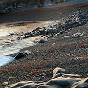 Black beach with stones and rocks in last sunight covered with orange and red seaweed.