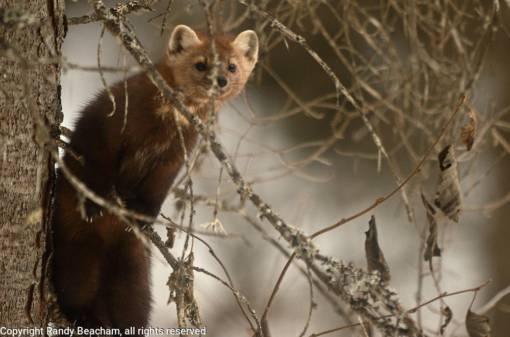 American Pine Marten in a conifer forest in late winter. Yaak Valley in the Purcell Mountains, northwest Montana.