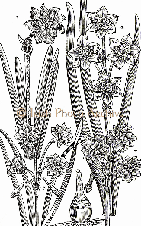 Varieties of Narcissus or Daffodil. Woodcut from 'Paradisi in Sole Paradisus Terrestris' by John Parkinson (London, 1629).
