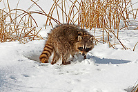 A Raccoon on the edge of a frozen marsh pond is out for a walk looking for something to eat.