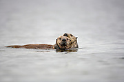 sea otter female holding and dragging curious pup