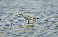 Greater Yellowlegs a shorebird migrates from the gulf region in the winter to Canada in the summer.