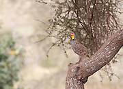 Yellow-necked Francolin in tree, Tarangire national Park, Tanzania.