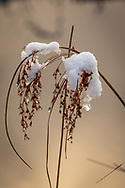 Snow and ice decorate a dried seed head on the edge of a bog.
