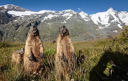 THEMENBILD - zwei Murmeltiere auf der Grossglockner Hochalpenstrasse, dahinter der Grossglockner, Heiligenblut, Oesterreich, aufgenommen am 31. Juli 2015 // Marmots in Front of the Grossglockner Mountain on the Grossglockner High Alpine Road, Heiligenblut, Austria on 2015/07/31. EXPA Pictures © 2015, PhotoCredit: EXPA/ JFK