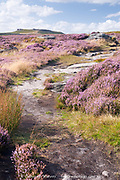 Derbyshire, UK: 28 Aug 2014: pathway through scenic landscape pink with heather in flower on 28 Aug near Higger Tor, Peak District