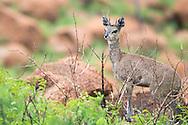 klipspringer, Oreotragus oreotragus, Klippspringer, saltarrocas, oréotrague , クリップスプリンガー, 山羚, وثاب الصخور