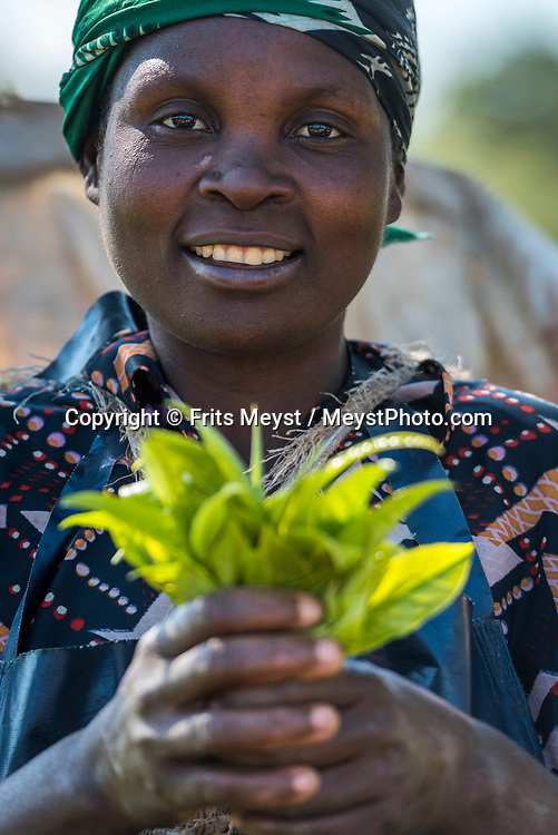 Malawi, July 2017. Tea pluckers harvest tea leaves at the plantation.  As one of Malawi's first land claims registered in 1874, Satemwa Tea Estate in Thyolo district is among the country's longest established tea and coffee producers managed and operated by third generation members of the Cathcart Kay family. Malawi is known for its long rift valley and the third largest lake in Africa: Lake Malawi. Malawi is populated with friendly welcoming people, who gave it the name: the warm heart of Africa. In the south the lake make way for a landscape of valleys surrounded by spectacular mountain ranges. Photo by Frits Meyst / MeystPhoto.com