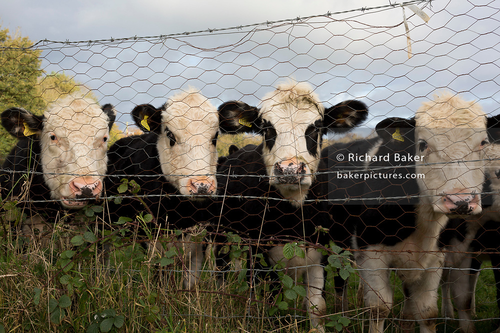 One year-old bulls peer through a wire fence separating farmland and a private garden, on 5th November 2017, in Wrington, North Somerset, England.