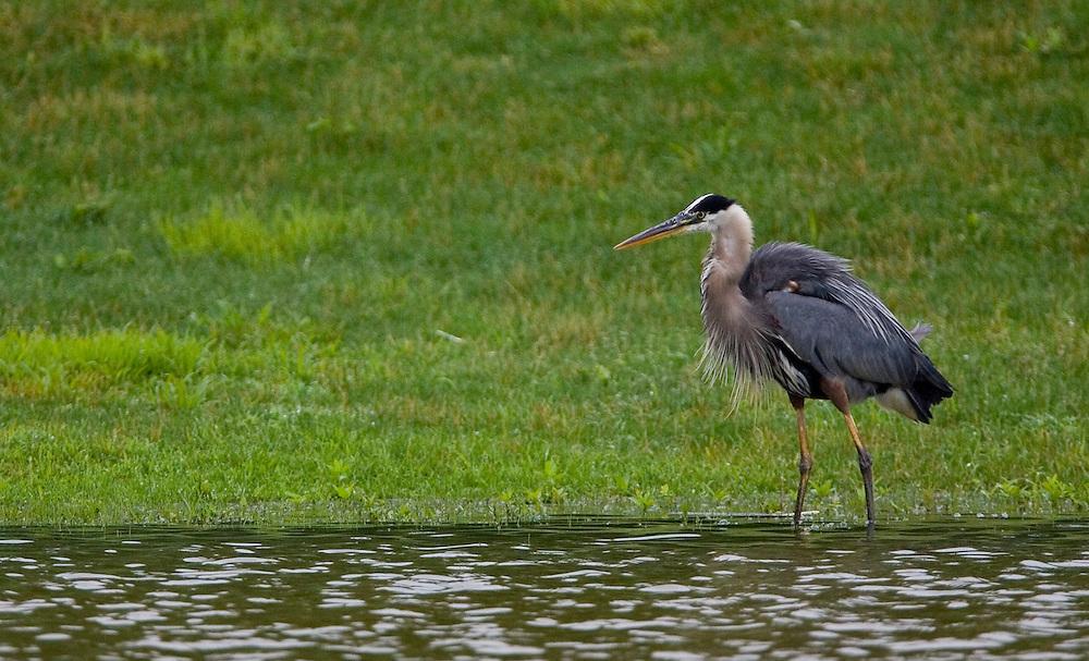 Great Blue Heron feeding in a pond