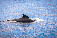ESP, Spain, the Canary Islands, island of La Palma, boat-trip at the west coast, Short-finned Pilot Whale.<br /> <br /> ESP, Spanien, Kanarische Inseln, Insel La Palma, Bootstour vor der Westkueste, Indo-Pazifischer Grindwal Pilotwal.